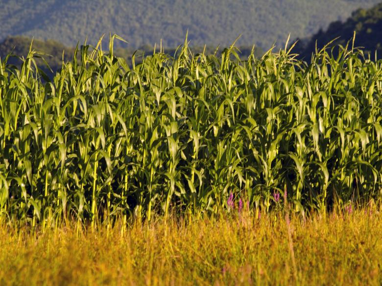 Free Stock Photo of Corn field Created by Alen