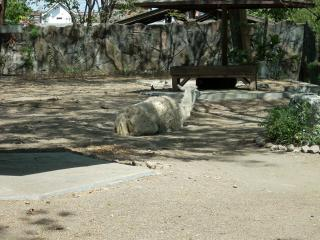 Lama at Surabaya Zoo Free Photo
