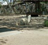 Free Photo - Lama at Surabaya Zoo