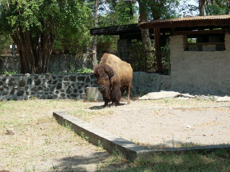 Free Stock Photo of Buffalo at Surabaya Zoo Created by Rhema Prabhata