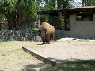 Buffalo at Surabaya Zoo Free Photo