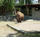 Free Photo - Buffalo at Surabaya Zoo