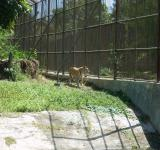 Free Photo - Tiger at Surabaya Zoo
