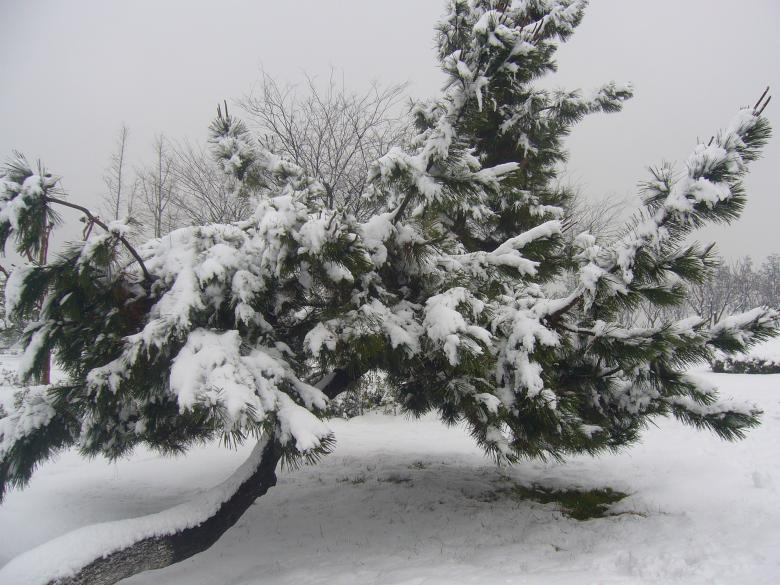 Heavy snow in the pines Free Photo