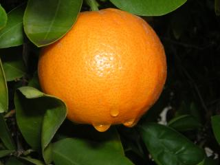 rain drops on oranges Free Photo