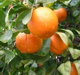 Free Photo - Rain drops on oranges