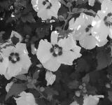 Black & White Flowers - Free Stock Photo