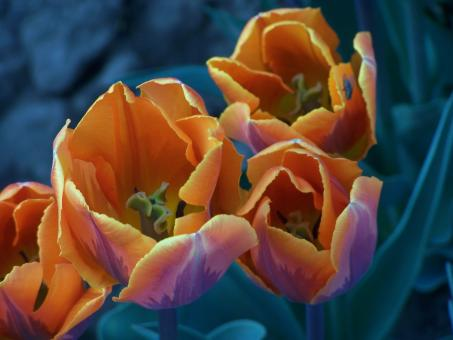 Special dutch tulips in spring - Free Stock Photo