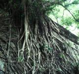 Free Photo - Roots