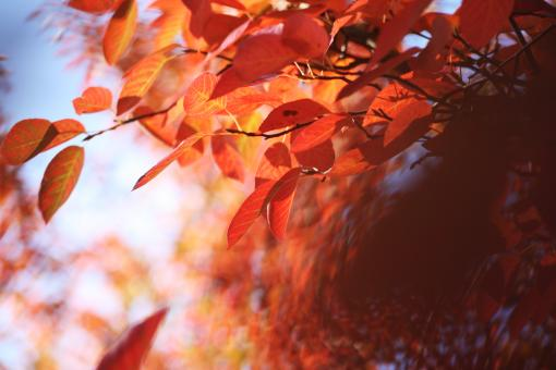 Red Leafs - Free Stock Photo