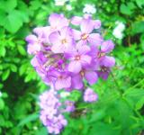 Free Photo - Violet Wildflowers