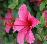 Free Photo - Pink Hibiscus