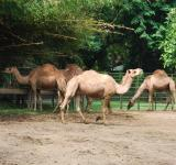 Free Photo - Camels in Surabaya Zoo