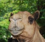 Free Photo - Camel at Surabaya Zoo