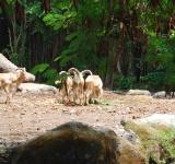 Free Photo - Goats at Surabaya Zoo