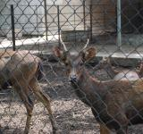 Free Photo - Deers Surabaya Zoo