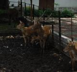 Free Photo - Deers at Surabaya Zoo