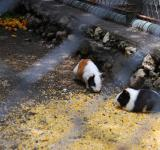 Free Photo - Hamsters at Surabaya Zoo