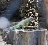 Free Photo - Lizard at Surabaya Zoo