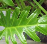 Asian leaf up close - Free Stock Photo