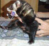 Free Photo - Ferret Snickers thief