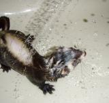 Free Photo - Ferret in the shower
