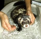 Free Photo - Ferret bathtime