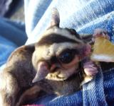 Free Photo - Sugar Glider eating