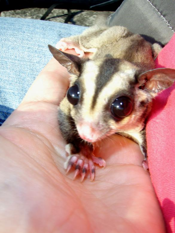 Sugar Glider in hand Free Photo