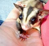 Free Photo - Sugar Glider in hand