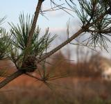Free Photo - Evergreen branch with pinecone