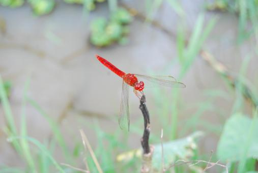 Red firefly - Free Stock Photo