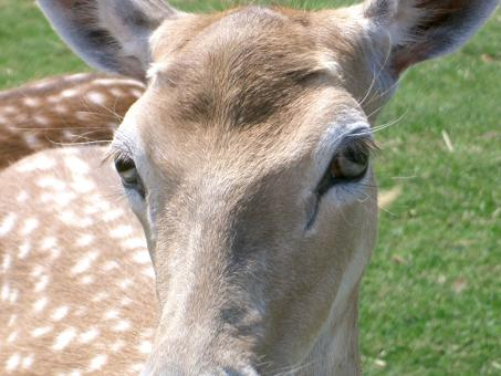 Young deer - Free Stock Photo