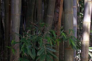 Green Bamboo Free Photo