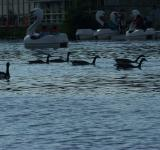Free Photo - Heard of happy geese