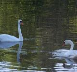 Free Photo - Food seeking swans