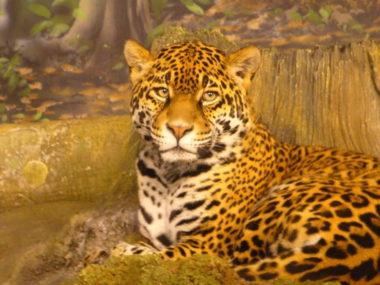 Free Stock Photo of Jaguar Created by Teresa Richards