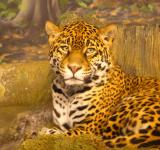 Free Photo - Jaguar