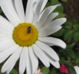 Free Photo - Flower - Daisy