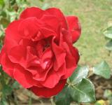 Free Photo - Flower - Rose