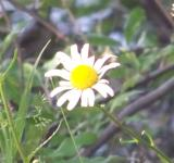 Free Photo - Daisy Flower