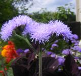 Free Photo - Little Blue Flowers
