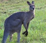 Free Photo - Male Grey Kangaroo