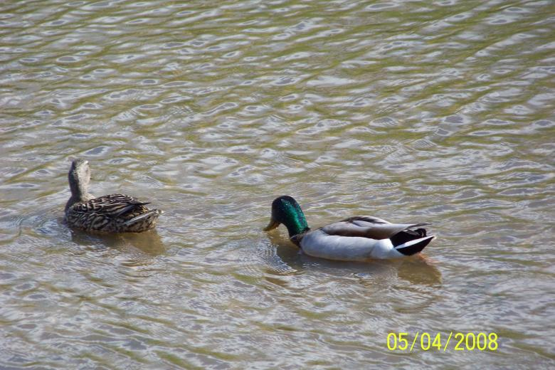 Free Stock Photo of Ducks Created by Nirodha Abeywardana