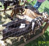 Free Photo - Hungry Goats