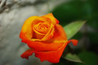 Orange rose Free Photo