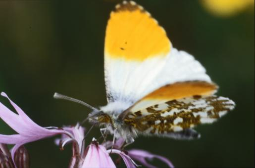 Butterfly - Free Stock Photo