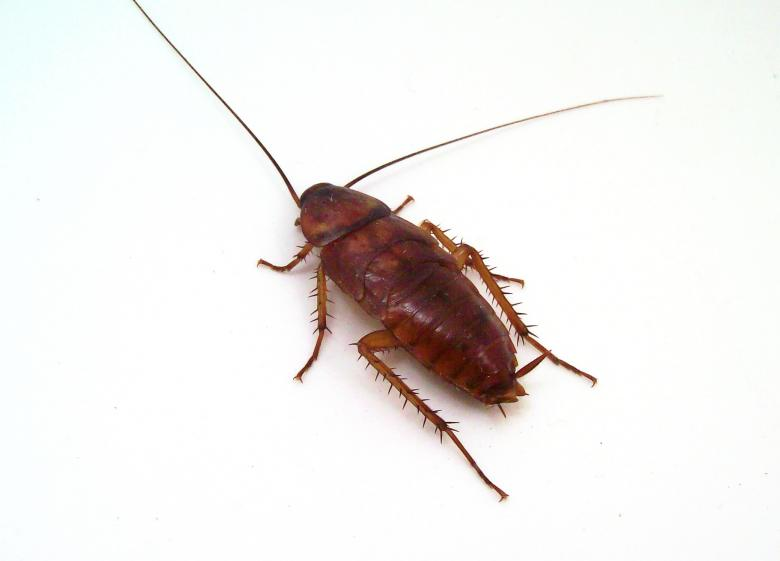 Free Stock Photo of Cockroach Created by homero chapa