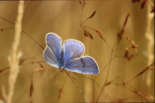Blue butterfly - Free Stock Photo