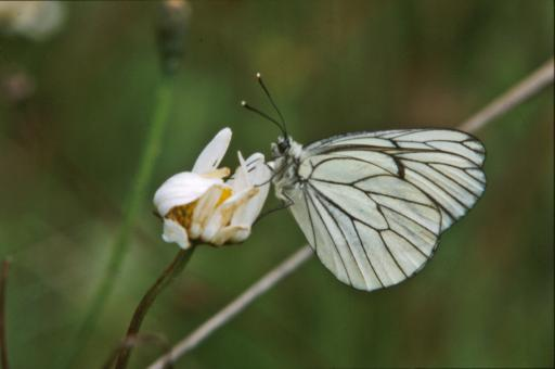 White butterfly - Free Stock Photo